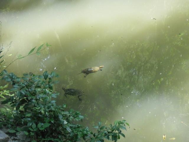 外宮の池の鯉とかめ