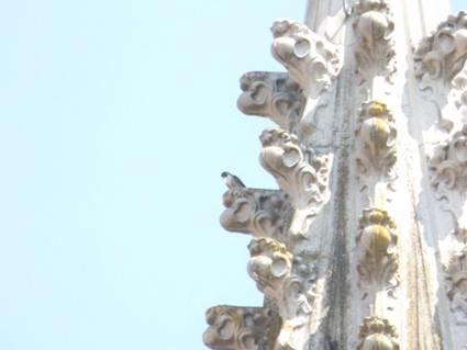 30.Mai, die Eltern locken die Jungvögel zu den Domspitzen und der Rathauskasten ist nach 11 Wochen verwaist.