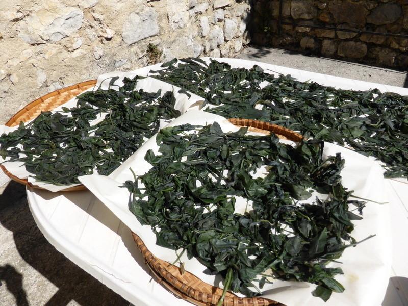 Exposition au soleil des feuilles de pastel récoltées à la Fondation Ardouvin
