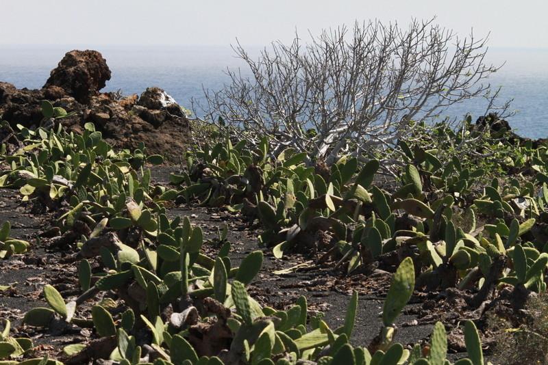 L'élevage de la cochenille sur l'île de Lanzarote a commencé vers 1830