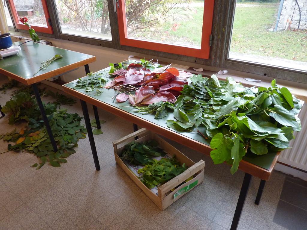 Récolte de végétaux contenant des tanins