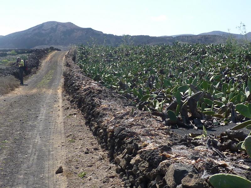 """Les cactus sont cultivés dans des champs clos appelés """"cercados"""""""