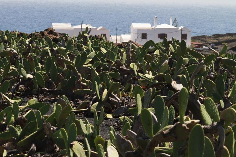 Mala et Guatiza sont au centre de la production des cochenilles