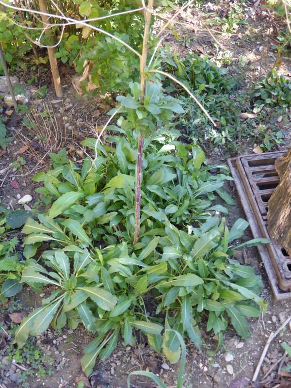 Plants de pastel au jardin à Vercheny
