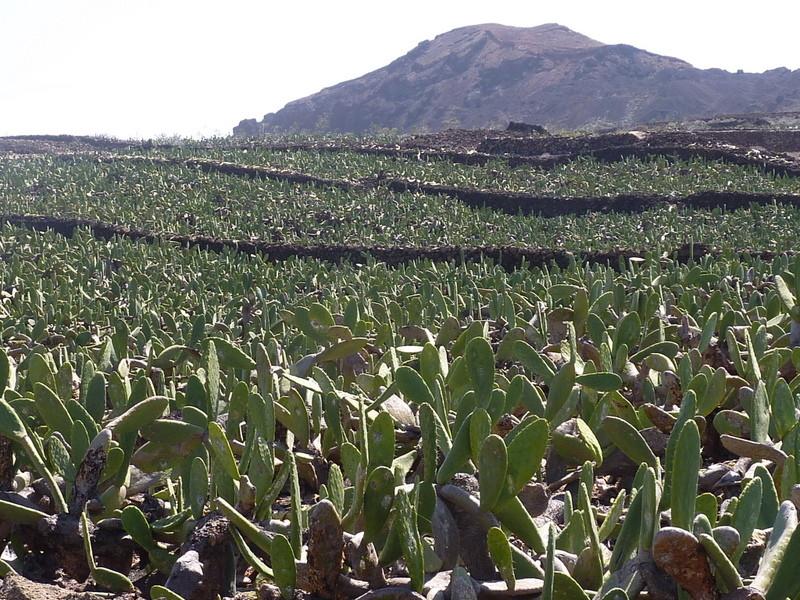 Spectacle impressionnant des plantations de cactus sur des hectares