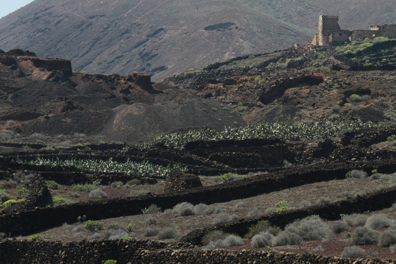 """La cendre volcanique ou """"picon""""est répandue pour servir de paillis"""