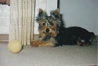 Kleiner Yorkshire-Terrier mit Ball