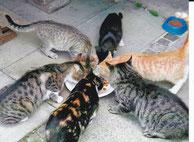 6 Bauernhofkatzen fressen aus einer Futterschale