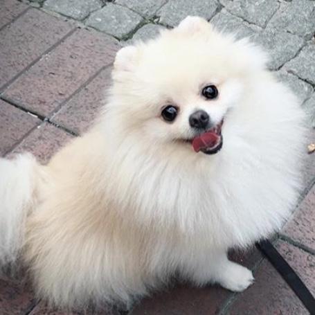Pomeranian Raquelle