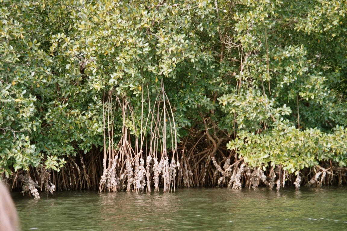 Mangroven am Fluß