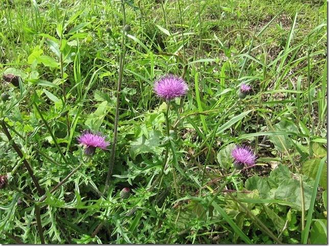 【ノアザミ】 春から秋にかけて日当たりの良い野山を彩ります。世界的に品種が多く、日本には約1/3の100種類以上自生しています。   ・高さ:30~60cm  ・花の大きさ:5~8cm  ・花期:5~10月