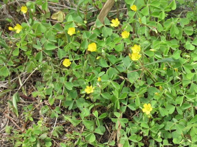 【カタバミ】  ・高さ:5~15cm  ・花の大きさ:2cm  ・花期:5~9月  ・生息地:日本全国