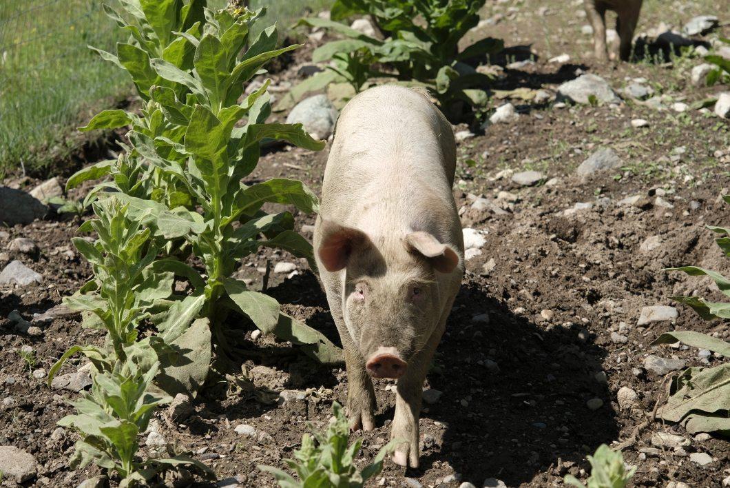 Happy piggys
