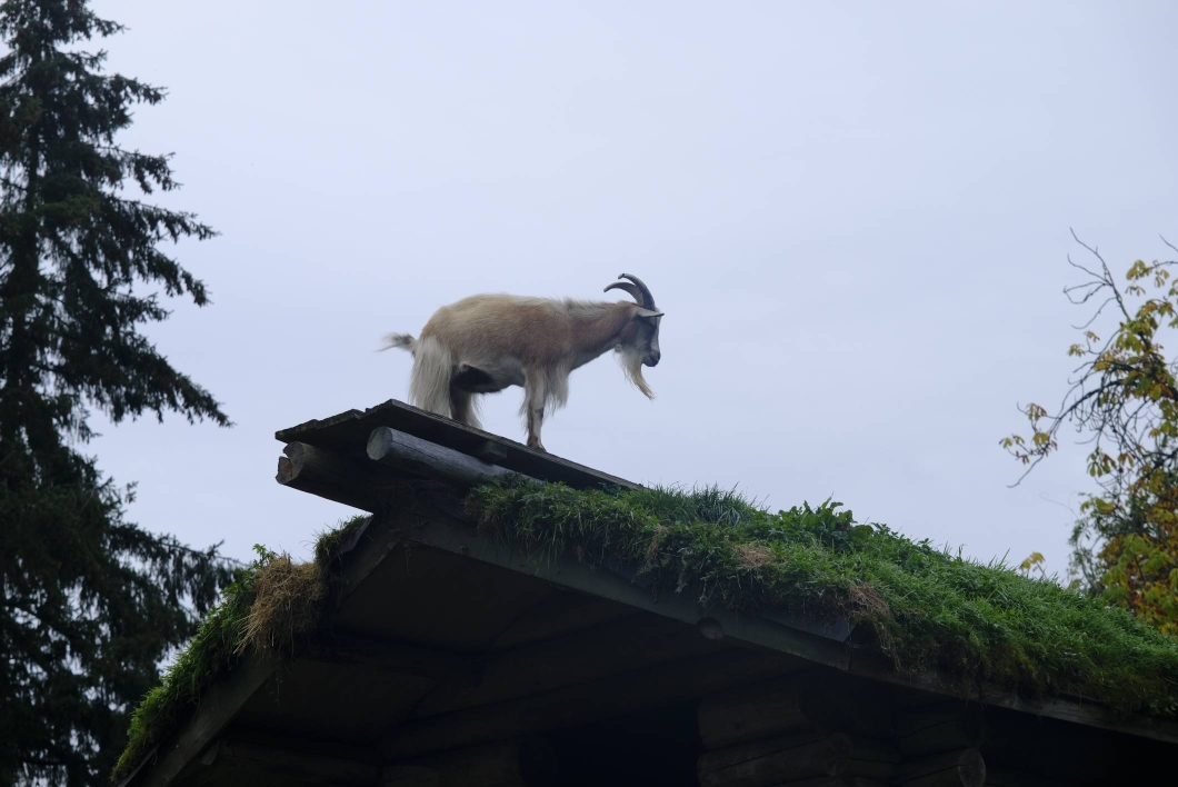 Goats on the roof in Coombs