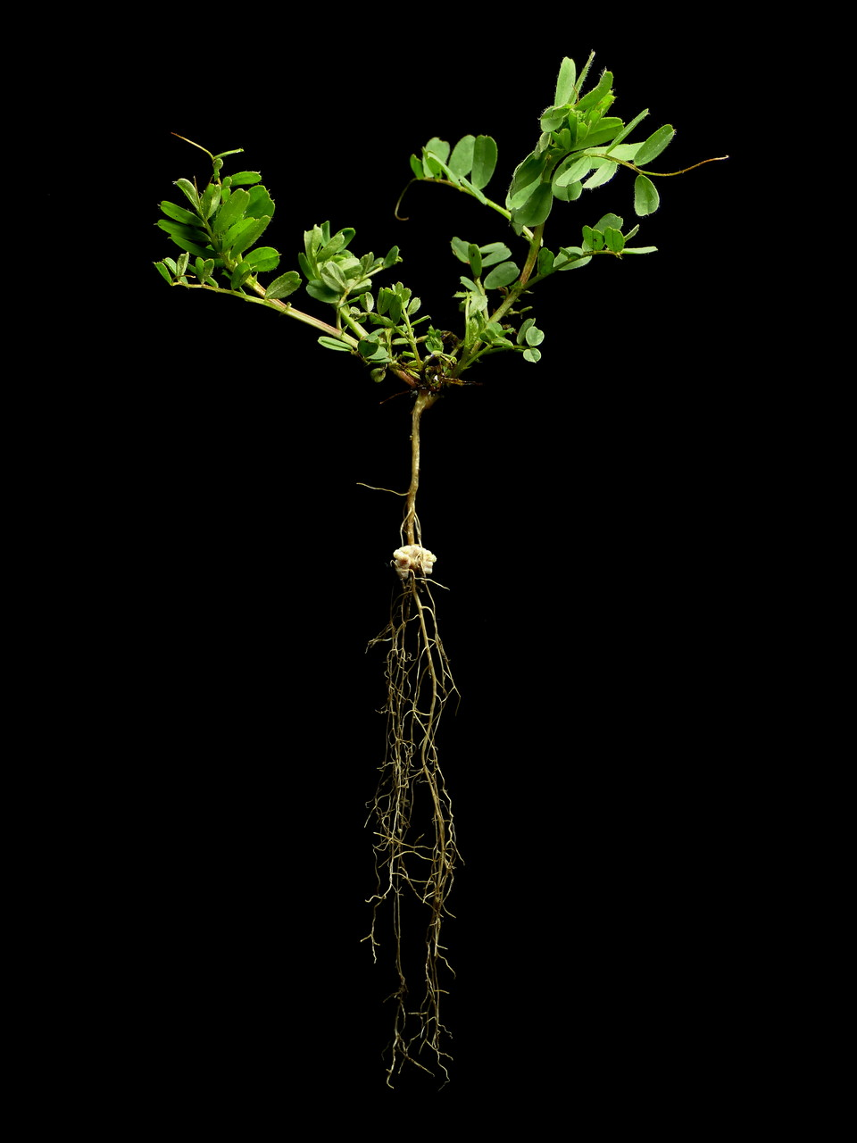 Vicia pannonica - Pannonische Wicke - Ungarische Wicke