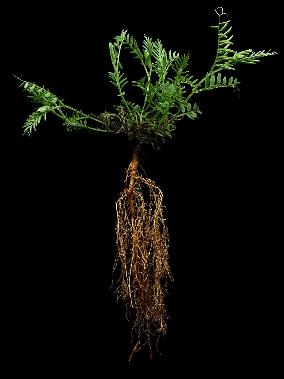 Vicia villosa - Zottige Wicke