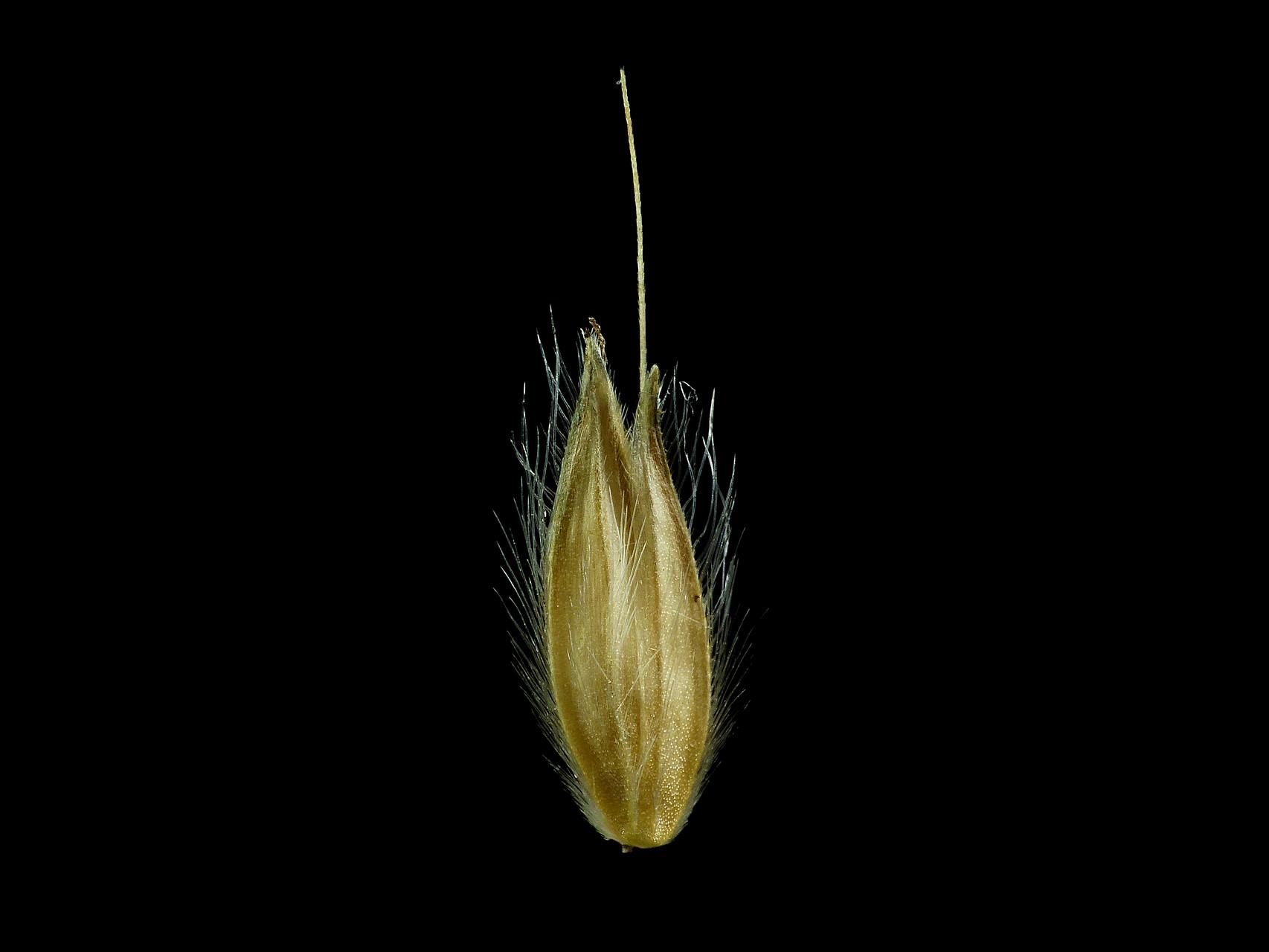 Alopecurus pratensis - Wiesenfuchsschwanz