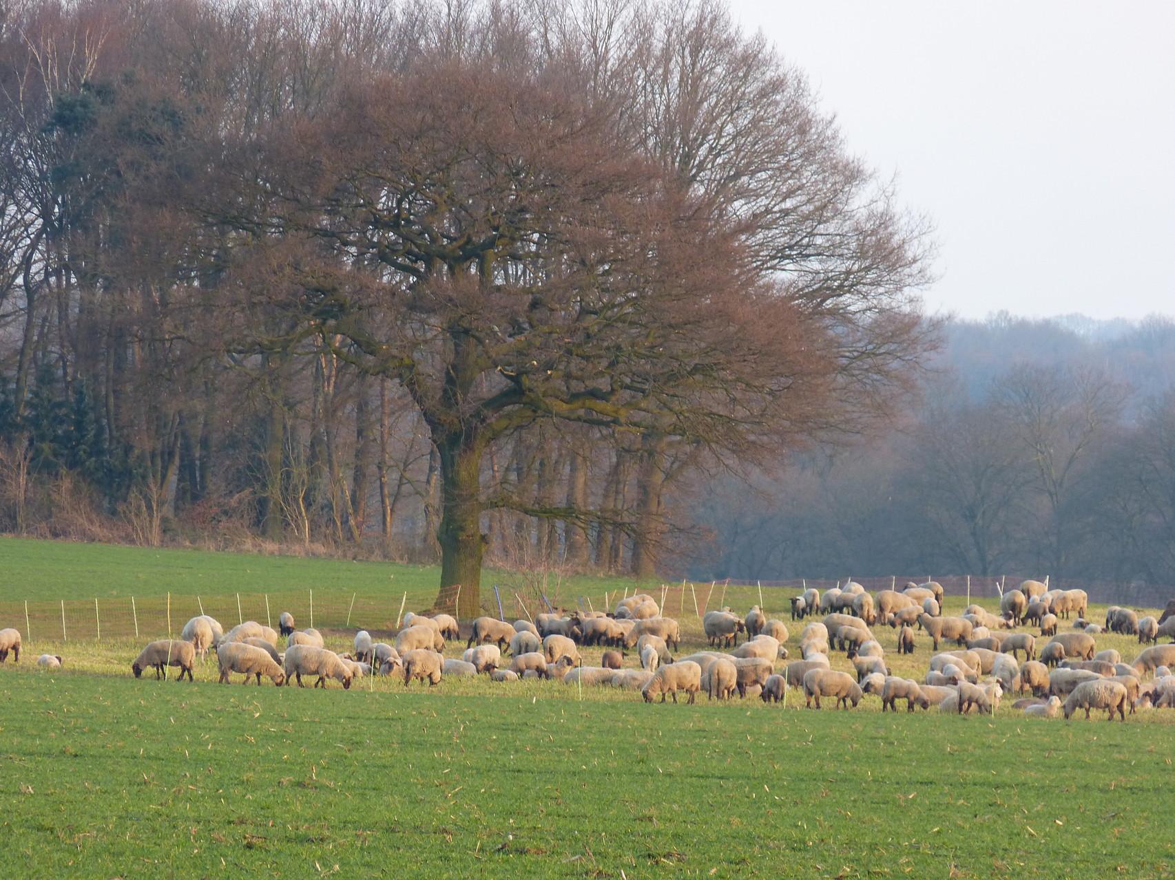 Schafe am Schäferweg
