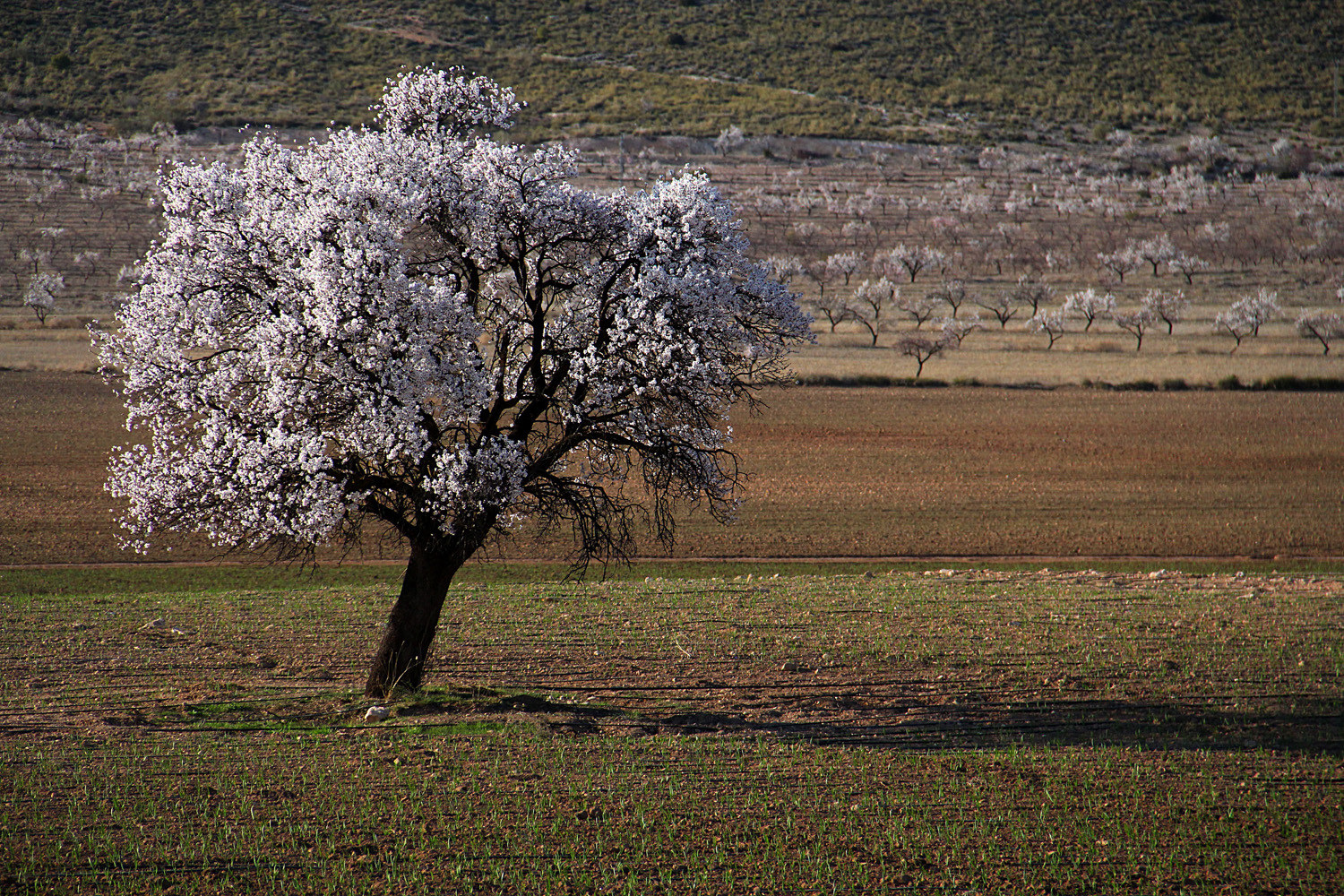 Almond flowers, Huéscar