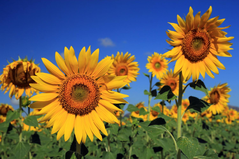 A Sunflower Field near Loja