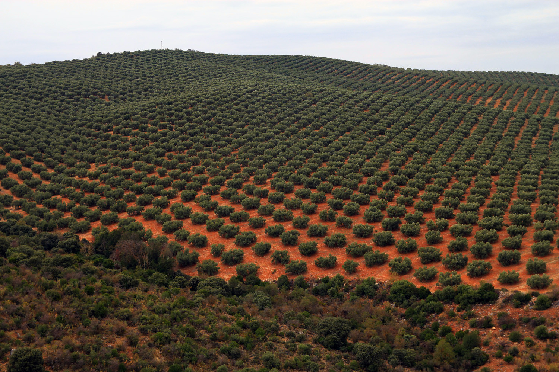 Almond Filed near Riofrio