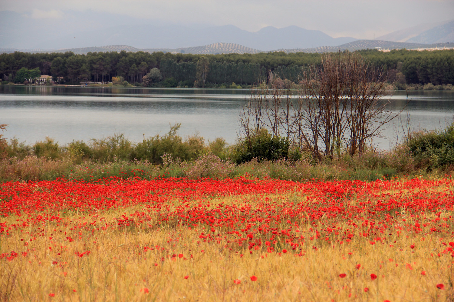 Corn Poppy Field near Lake Cubillas