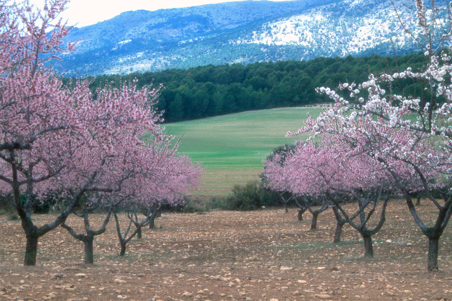 Almond flower field, Huéscar