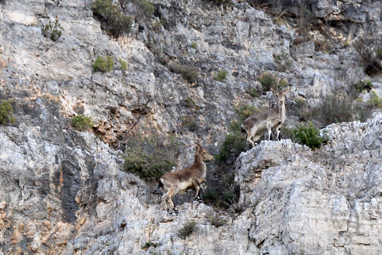 Mountain Goats Natural Paek Tejeda