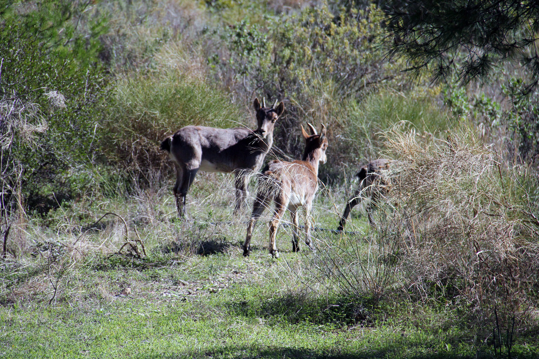 A Mountain Goat in Natural Park de Maro Cerro Gordo
