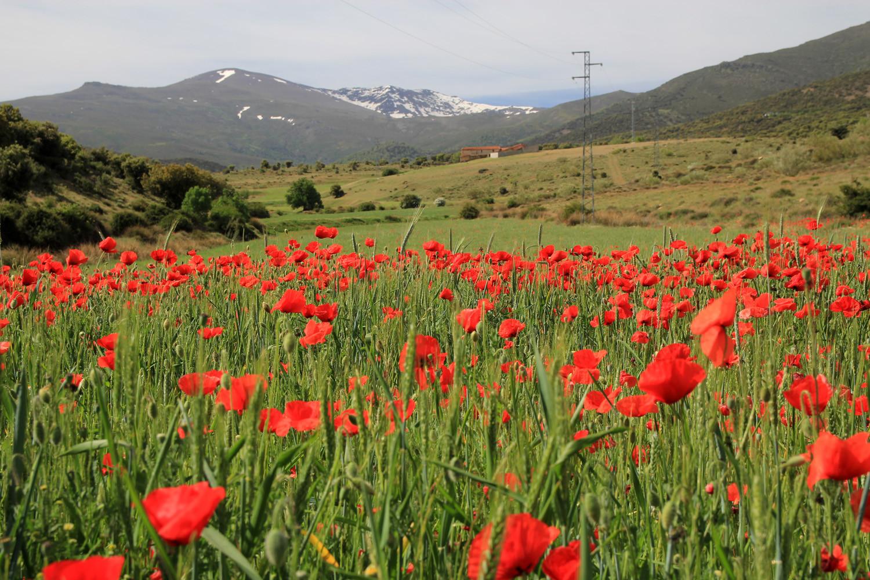 A Daisy Field near Lugros (May)
