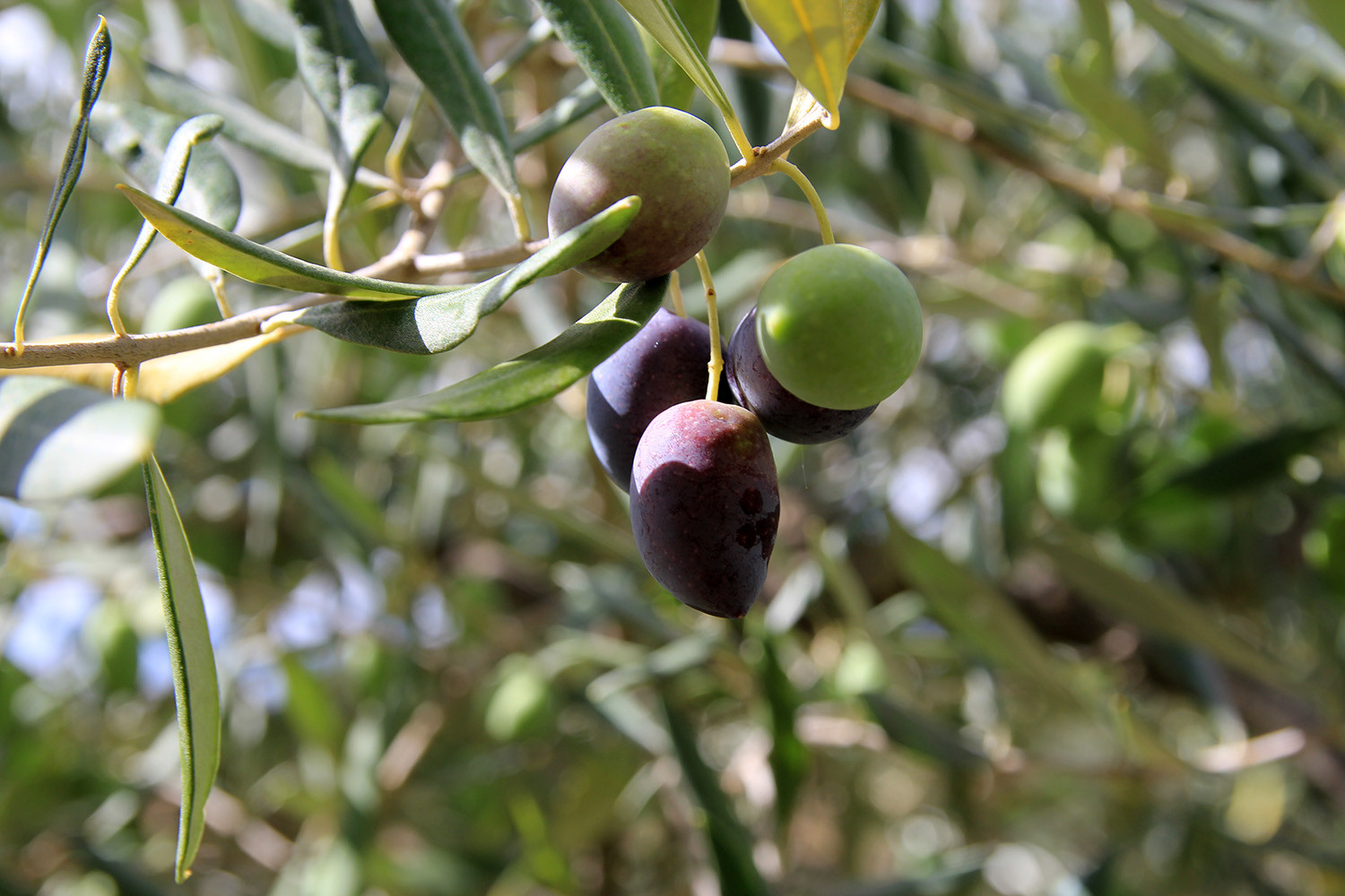 Detail of the olive yard