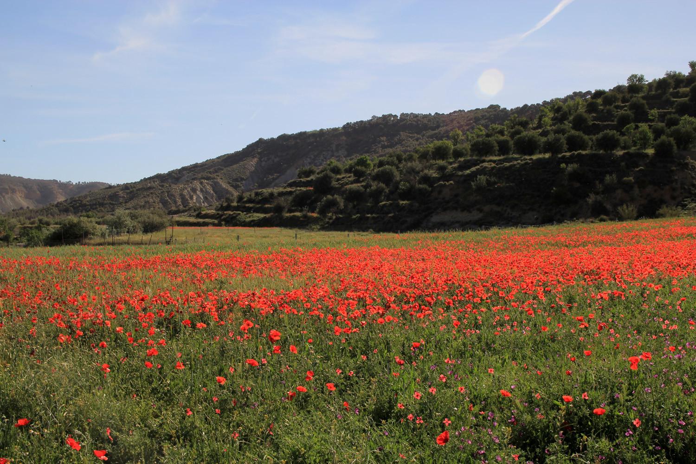 A Daisy Field near La Peza (May)