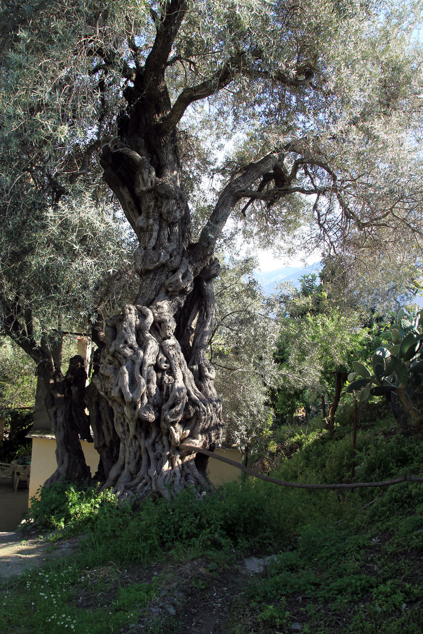 Olive Tree of hundreds of Years Old