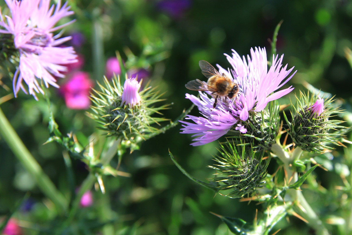 Thistle Flower Attracting Insects