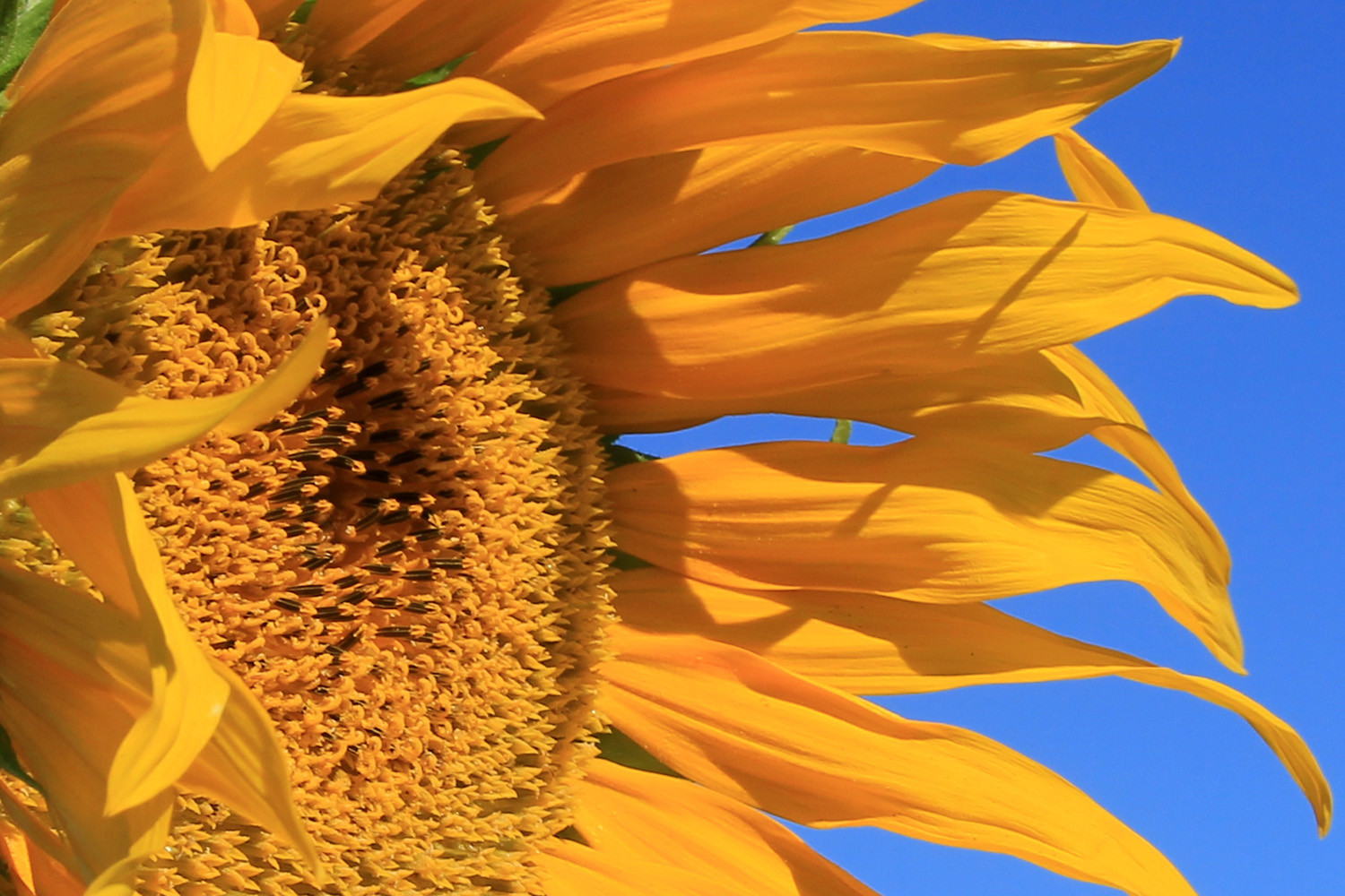 Detail of a sunflower (Domingo Pérez)