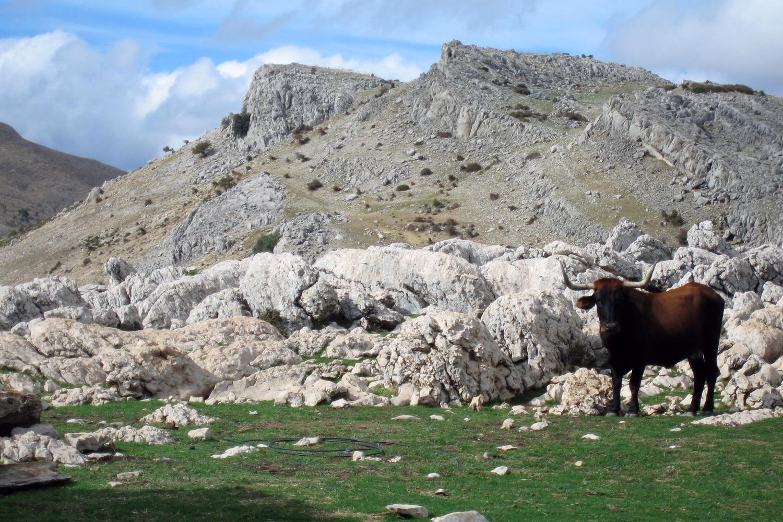 A cow on the high plateau Sierra Seca