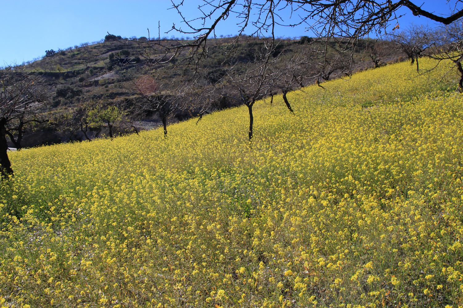 Colza Flower Field close to Túron (Alpujarra)