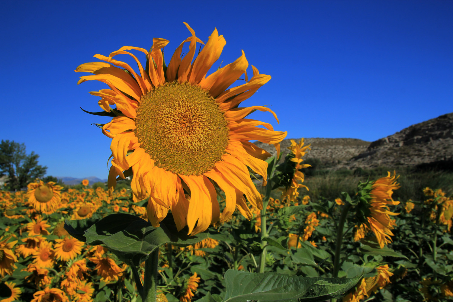 Sunflower Field near Galera