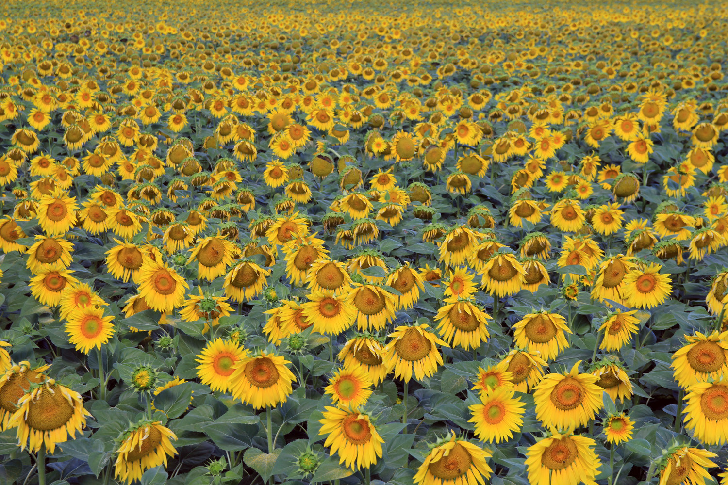 Sunflowerfield (Domingo Pérez)