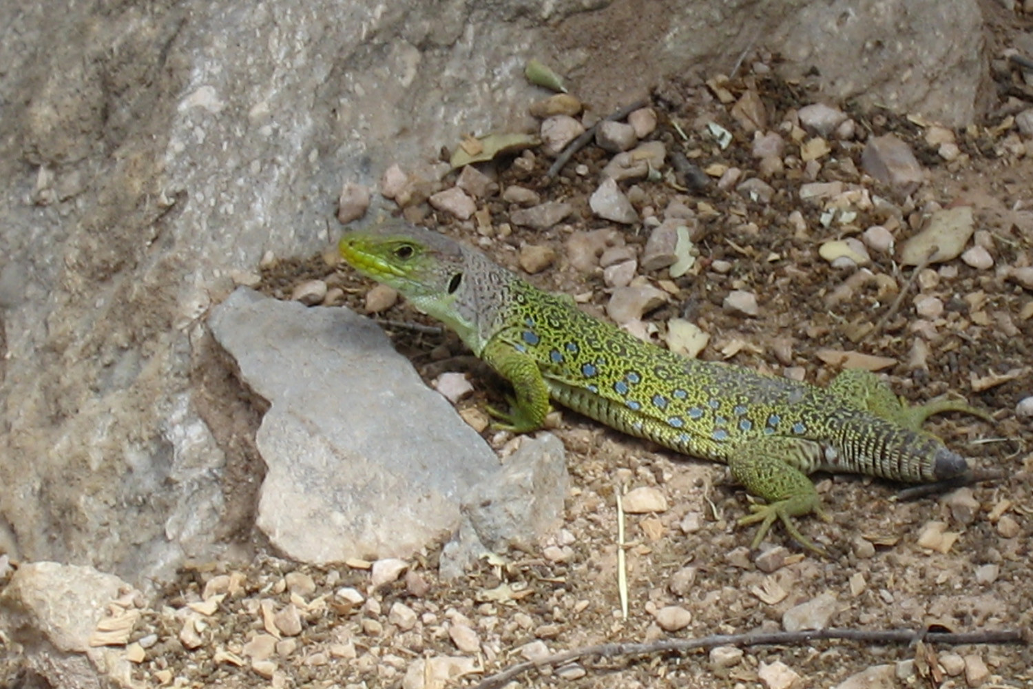 A lizard that has lost his tail