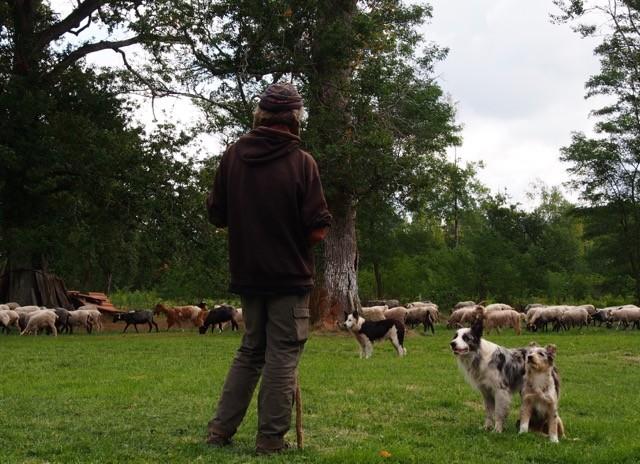 le berger Stéphane et ses chiens a l'affût