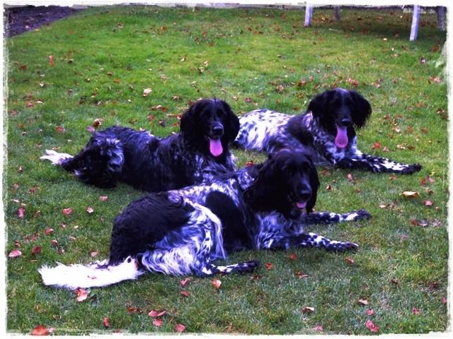 3 auf einen Streich (Mitte: unsere Akira, vorne: ihre Mama Bonja, hinten: Spielgefährtin Daika)