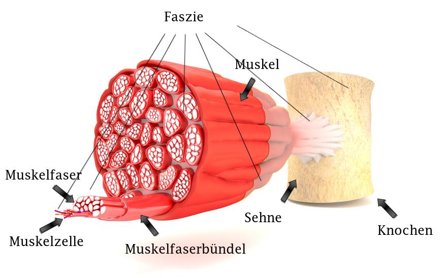 Alle Schichten unserer Muskulatur sind von Faszien umhüllt, Aufbau eines Muskels