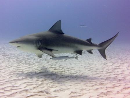 Bull Shark Dive Playa del Carmen - Albertos Scuba