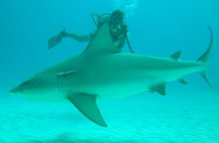 Shark Dive Playa del Carmen - Albertos Scuba