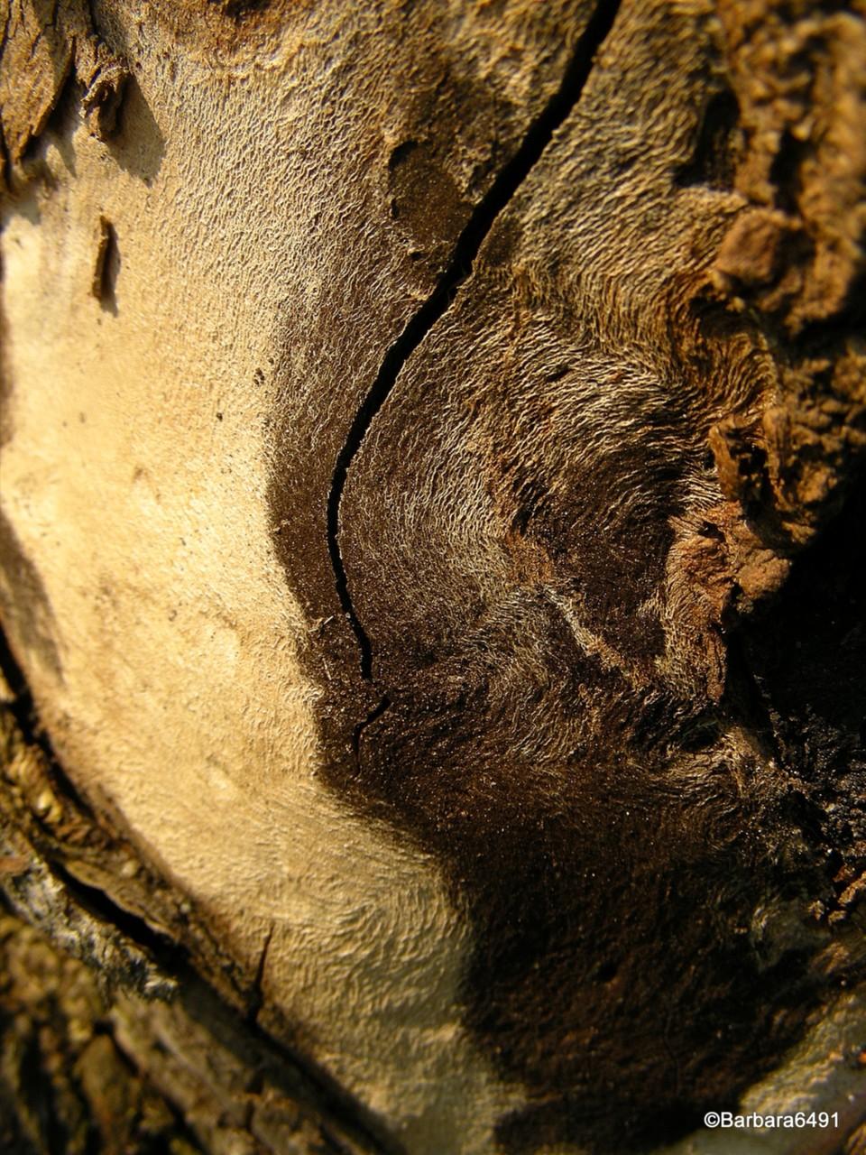 Entrindeter Feldahorn-Baumstumpf