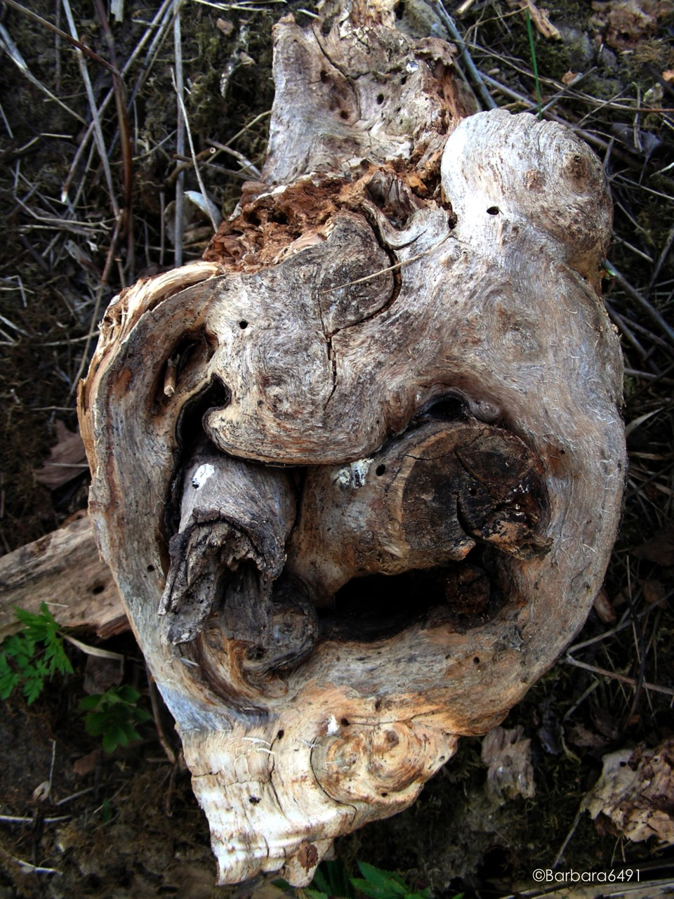 Draculas vom Holzpflock ddurchbohrtes Herz