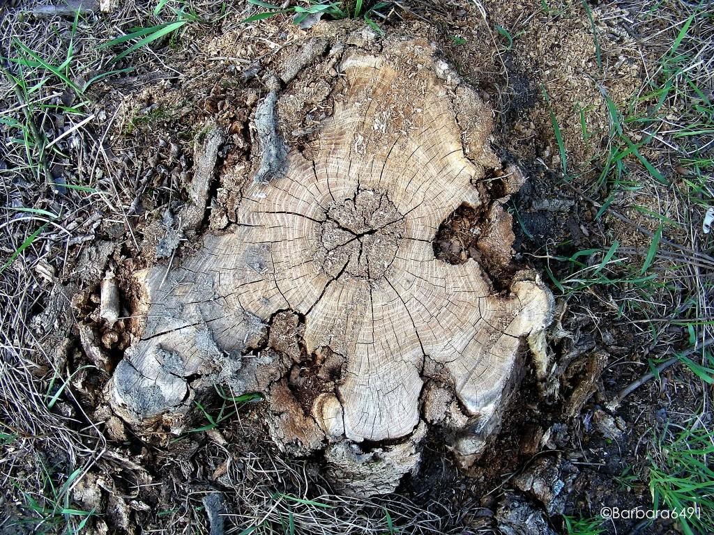 Baumstumpf-Kontinent