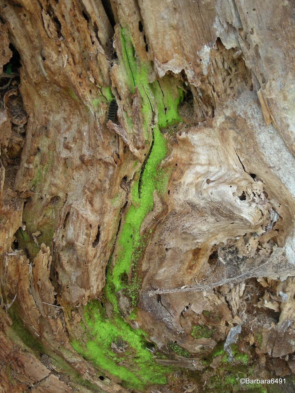 Giftgrüne Algen auf Totholz