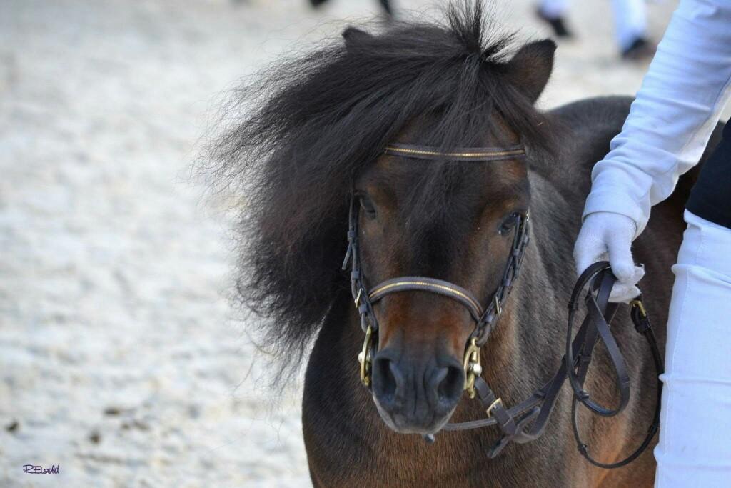 Nationale Ponyschau Balstahl 2015, 1. Rang